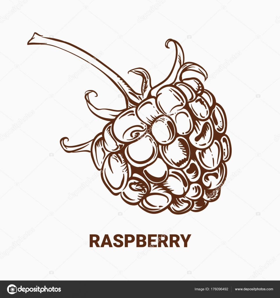 963x1024 Illustration Of Drawing Raspberry. Hand Draw Illustration For De