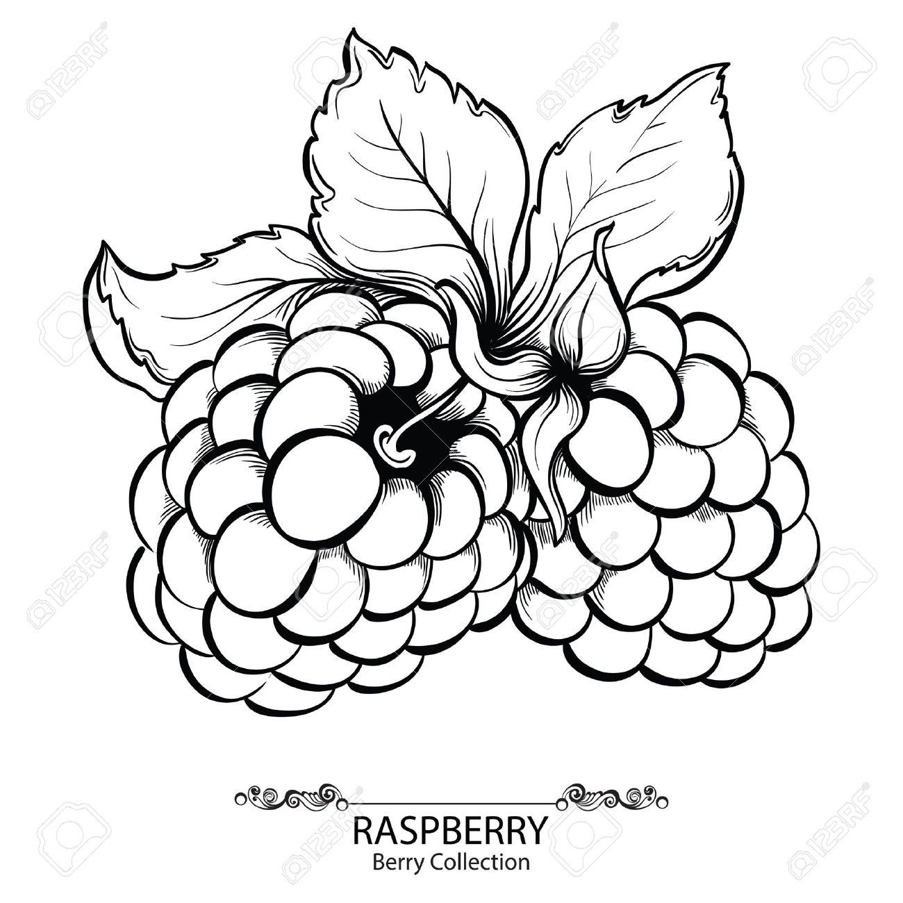 1300x1300 Raspberry. Vector Illustration Of Ink Hand Drawn Berry Royalty