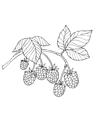 323x430 Red Raspberry Coloring Page Project