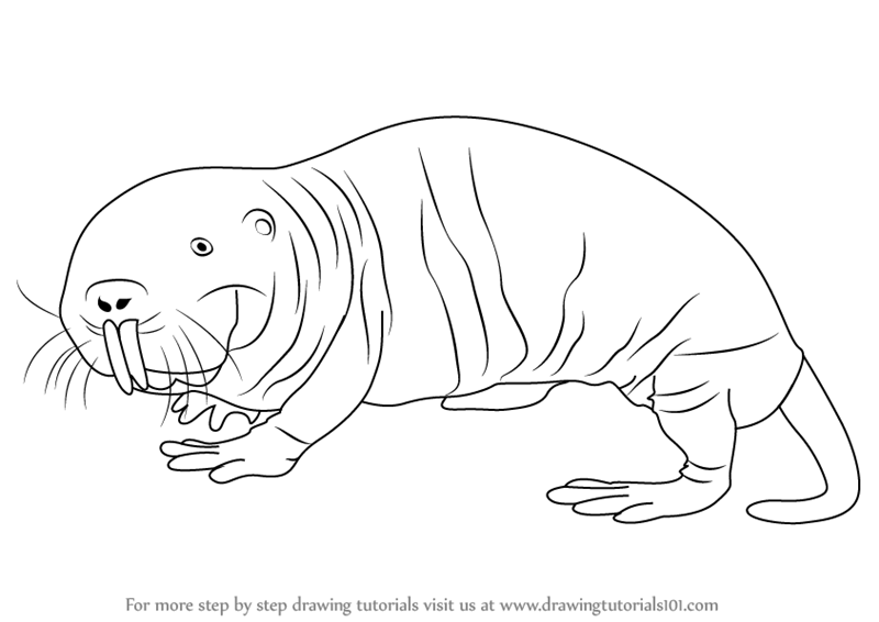 800x566 Learn How To Draw A Naked Mole Rat (Rodents) Step By Step