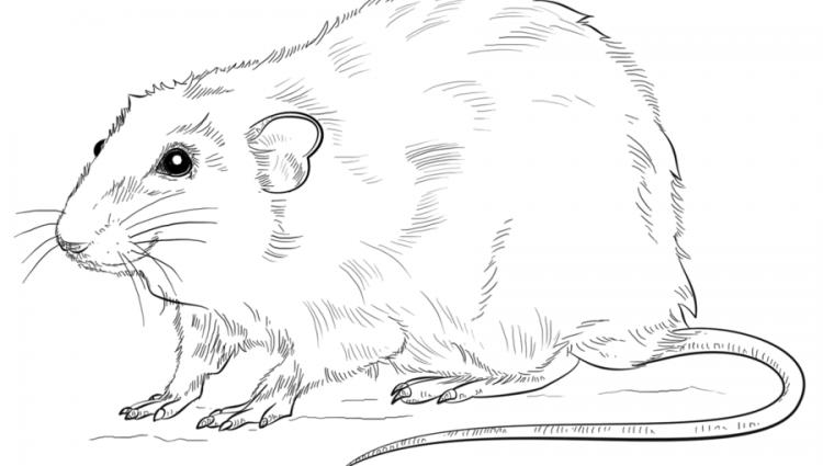 750x425 Drawn Rat Drawn Rat Rat Line Pencil And In Color Drawn Rat Rat