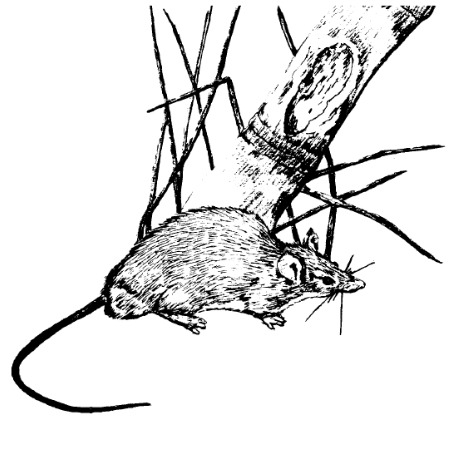 450x450 Animal Removal Professionals, Rodents, Polynesian Rats