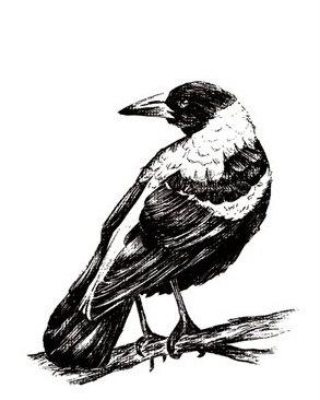 293x366 Magpie Card Hand Drawn Australian Bird Blank Greeting Card