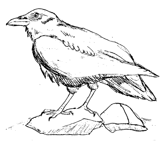 670x567 Raven Bird Coloring Page Raven Bird Drawings