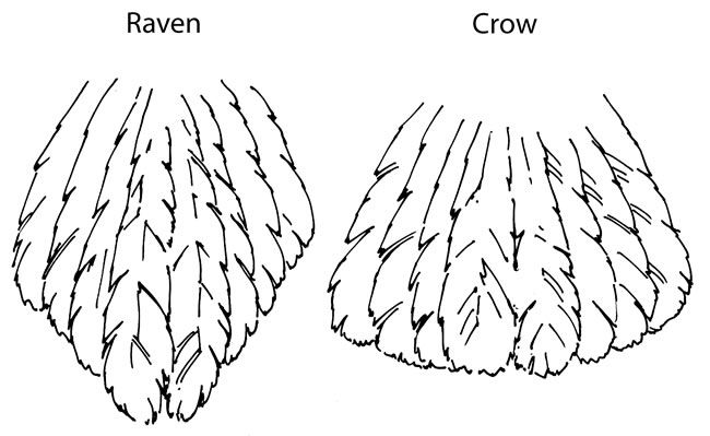 650x399 Crow's Tail Is Shaped Like Fan, While Raven's Is More