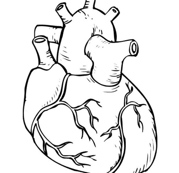 620x600 Human Heart Coloring Page