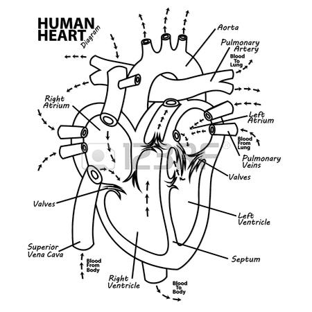 450x450 Human Heart Diagram Anatomy Tattoo Royalty Free Cliparts, Vectors