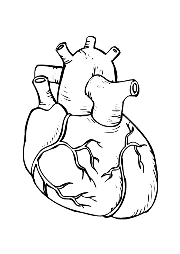 620x875 Real Heart Coloring Pages How To Draw A Human Step By Anatomy