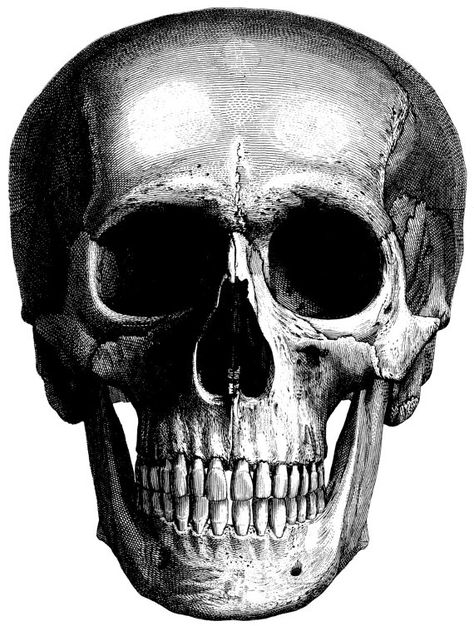 474x626 Real Skull Human Anatomy The Human Skull Old By Mapsandposters