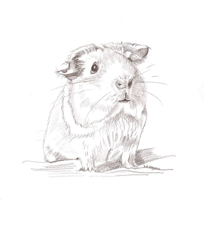 718x791 Guinea Pig cute realistic pencil drawingpet artanimal art