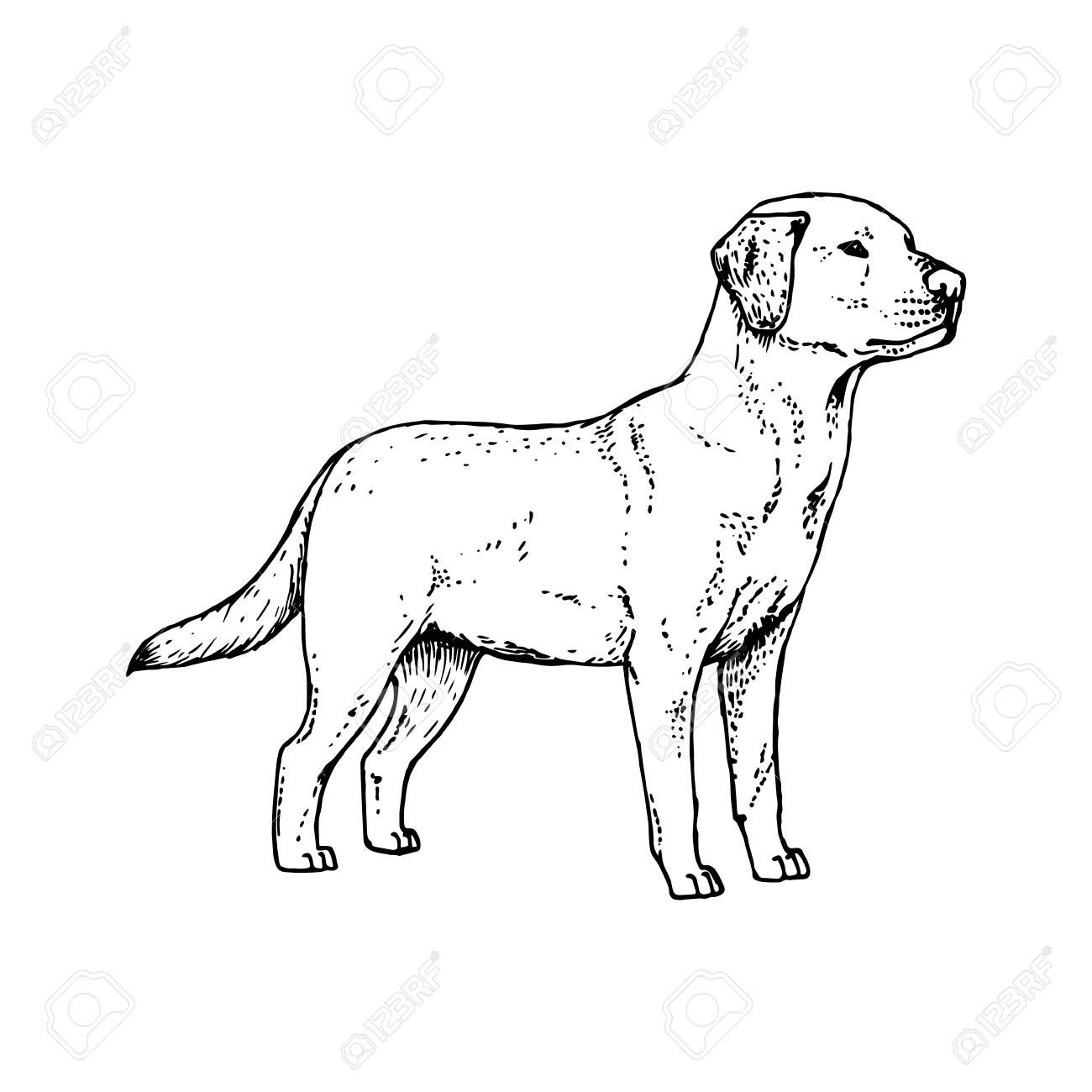 1300x1300 Hand Drawn Dog Labrador. Retro Realistic Animal Isolated. Vintage