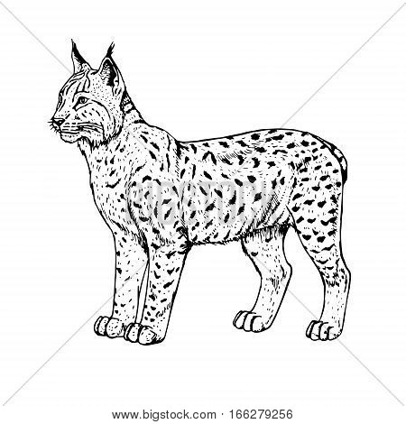 450x470 Hand Drawn Lynx. Retro Realistic Vector amp Photo Bigstock