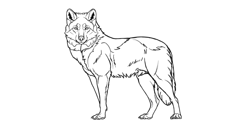 850x445 How To Draw A Wolf Step By Step