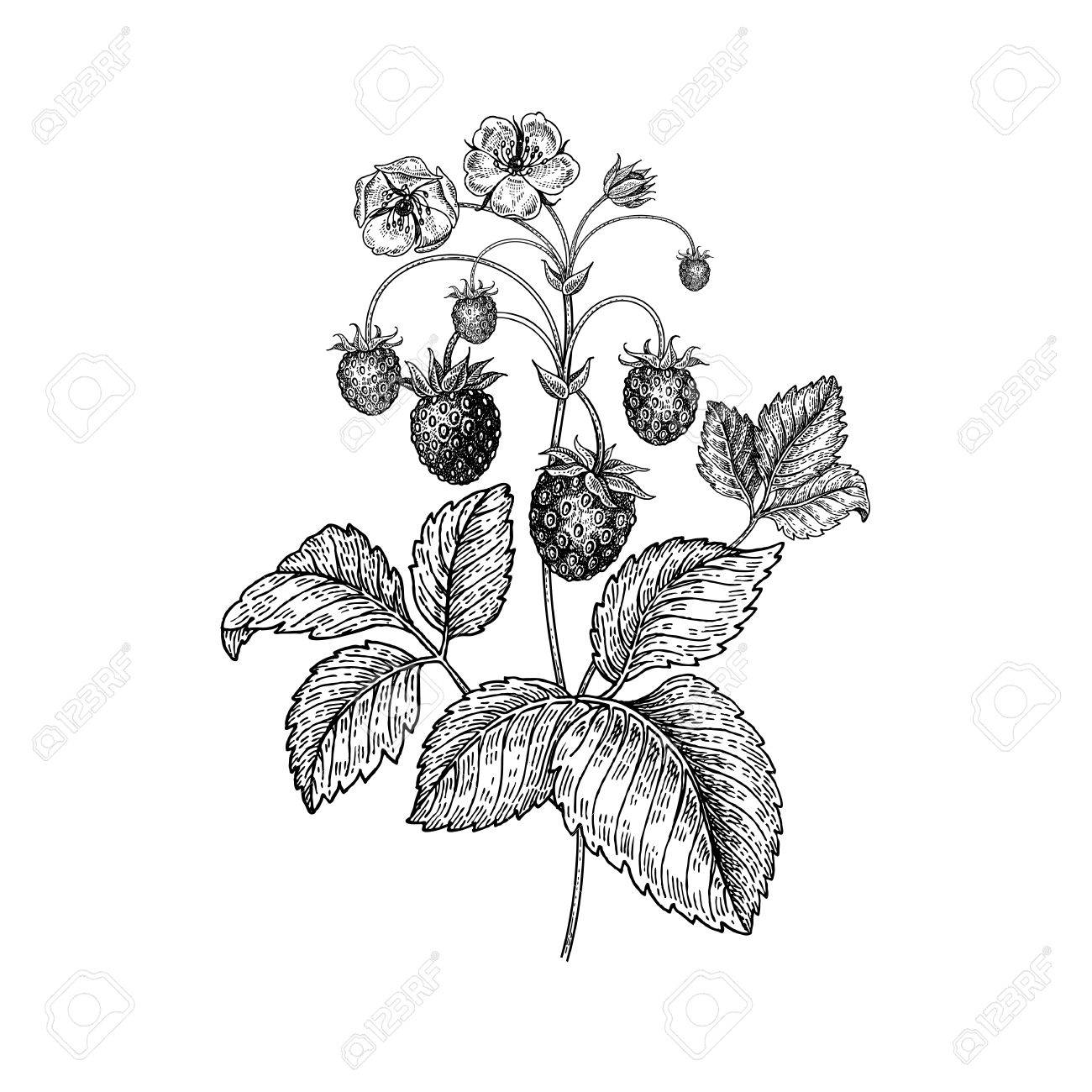 1300x1300 Strawberries. Realistic Vector Illustration Plant. Hand Drawing