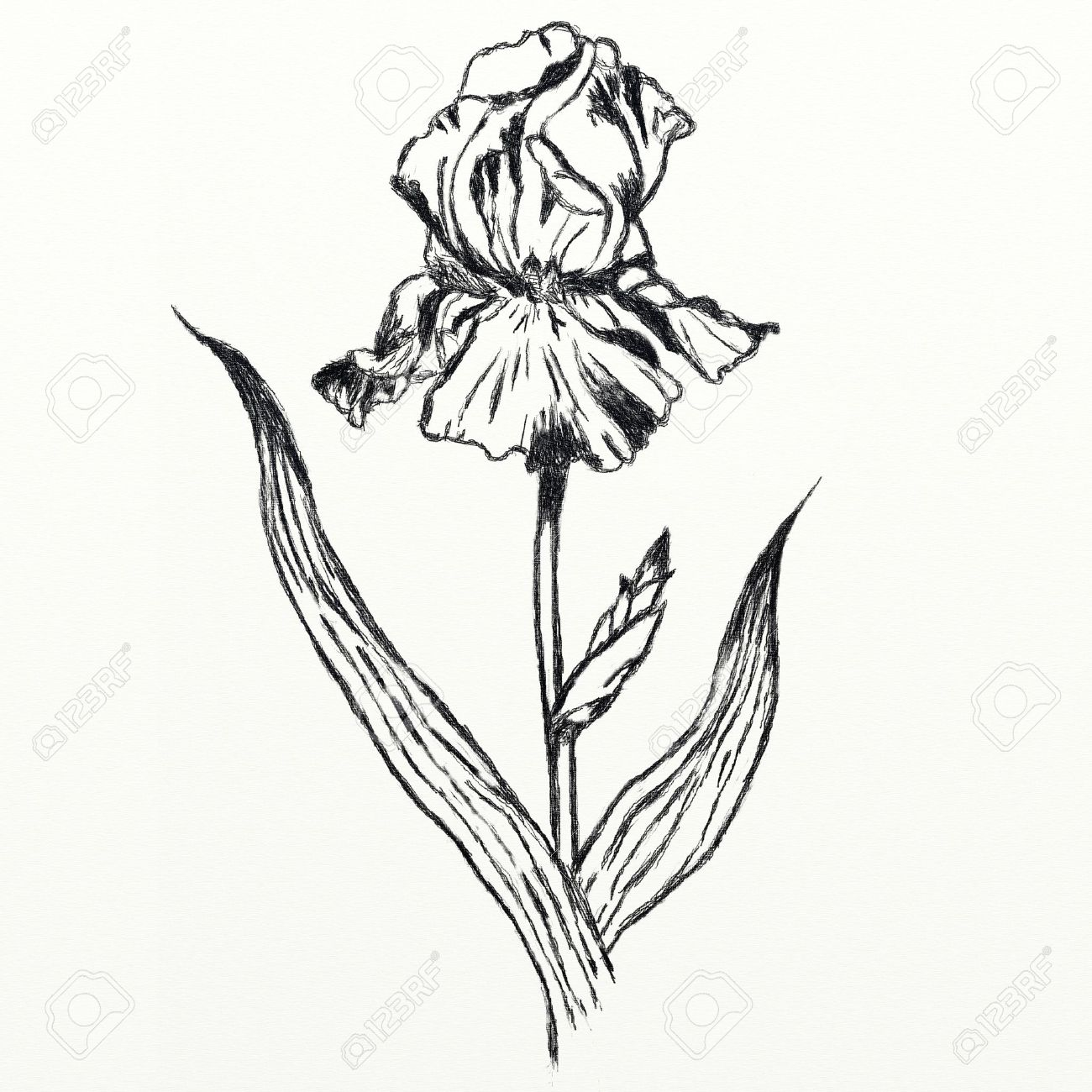 1300x1300 Drawing Iris Flower, Realistic Sketch Stock Photo, Picture