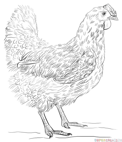 495x575 How To Draw A Hen Step By Step. Drawing Tutorials For Kids