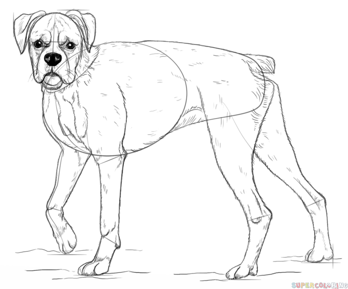 692x575 How To Draw A Boxer Dog Step By Drawing Tutorials