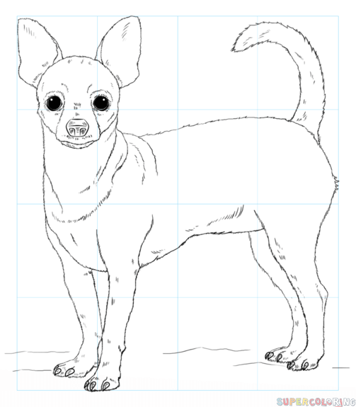 503x575 How To Draw A Chihuahua Step By Step Drawing Tutorials