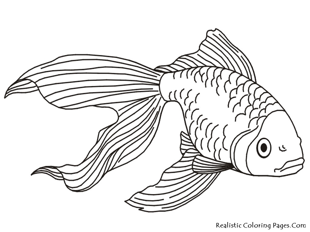 1024x768 How To Draw A Realistic Goldfish