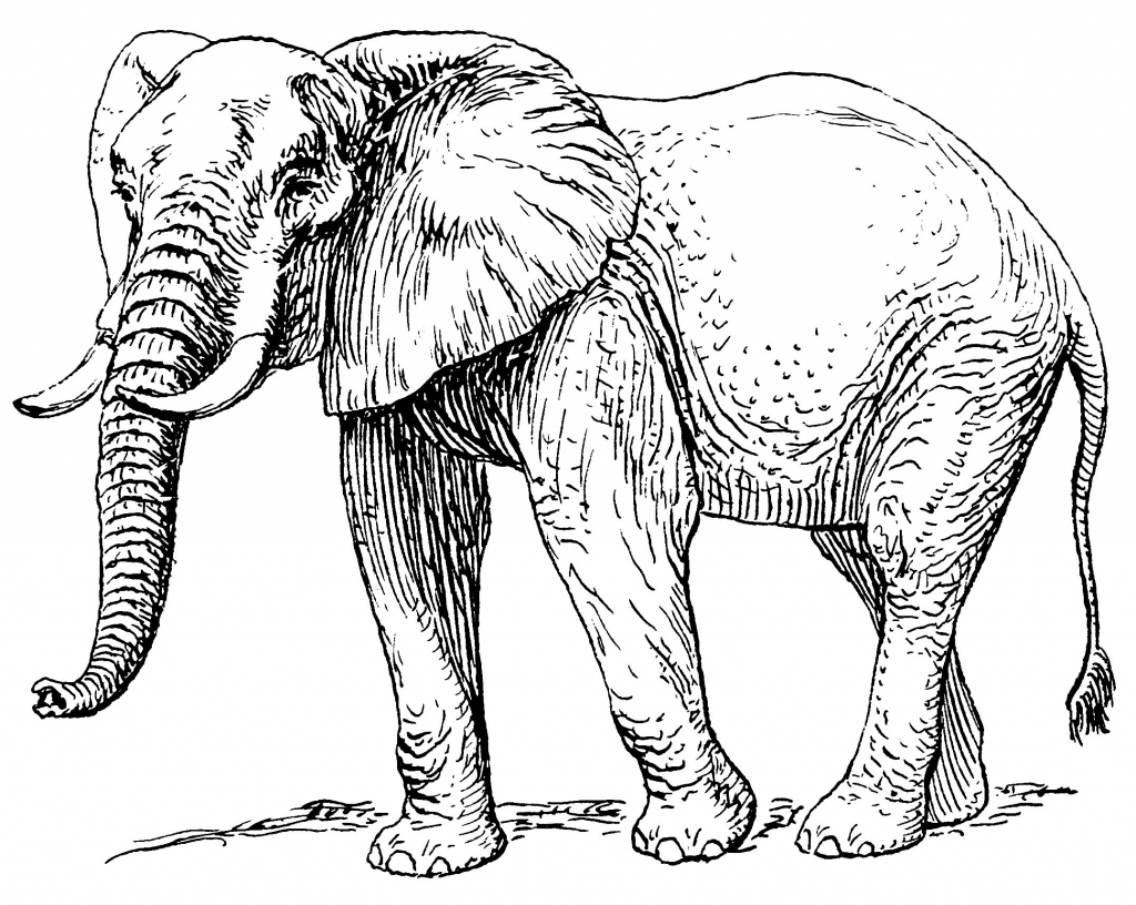 1024x816 Drawing Of An Elephant How To Draw A Realistic Elephant Draw Real