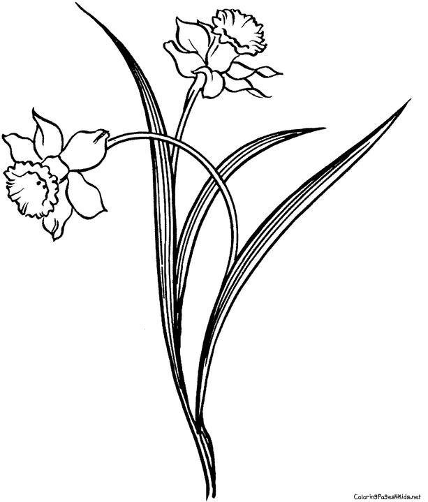 613x719 Drawn Daffodil Sketch