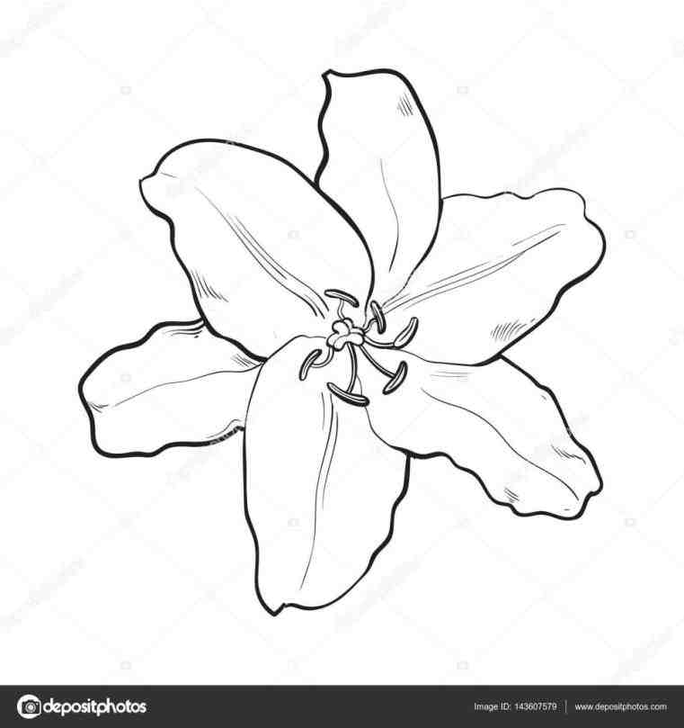 761x809 Realistic Lily Flower Drawing