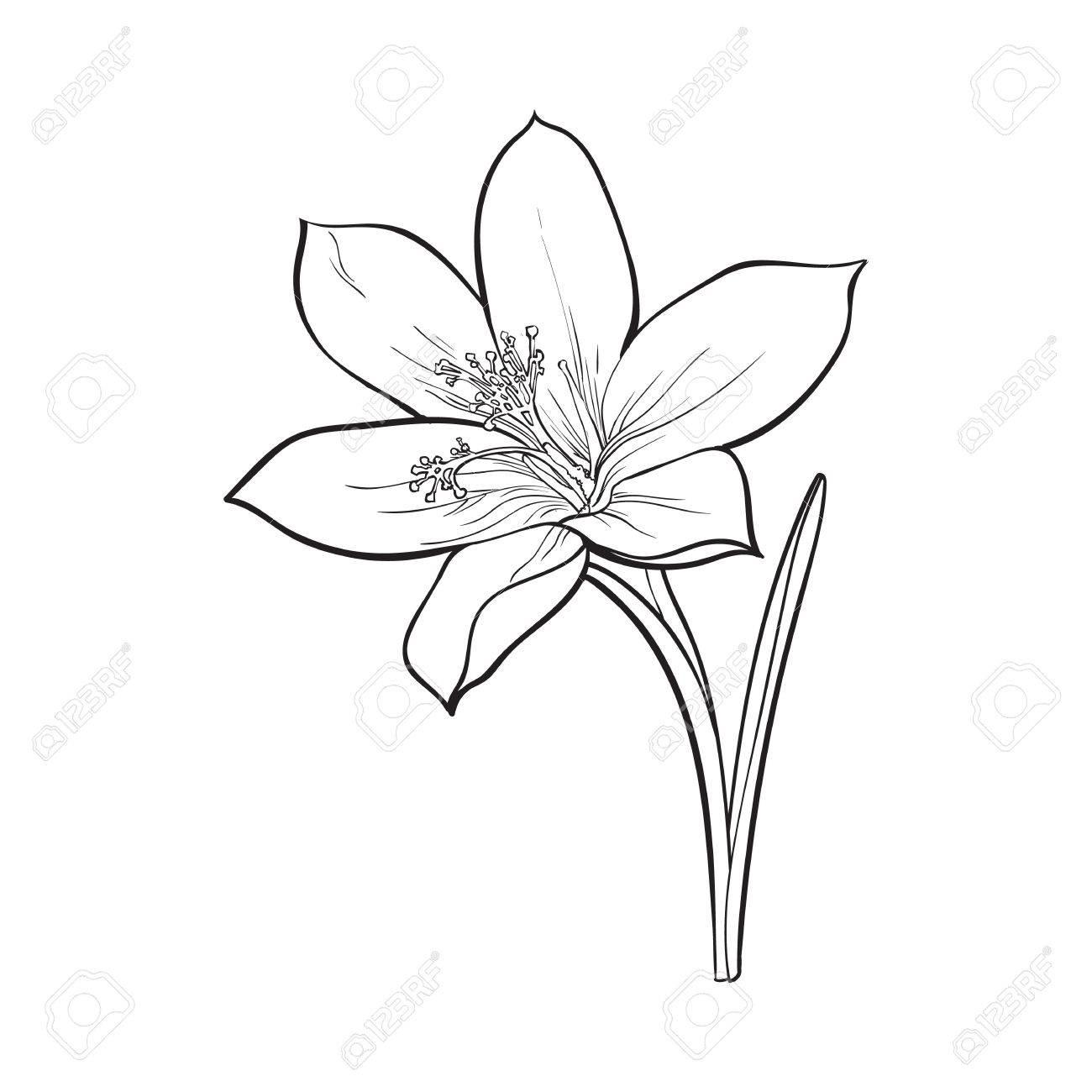 1300x1300 Delicate Single Crocus Spring Flower With Stem And Leaf, Sketch