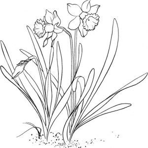 300x300 Realistic Flower Coloring Pages Realistic Drawing Of Daffodil