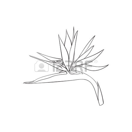 450x450 Single Bird Of Paradise, Strelizia Tropical Flower, Sketch Style