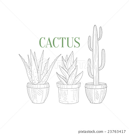 450x468 Three Tall Cacti In Pots Hand Drawn Realistic