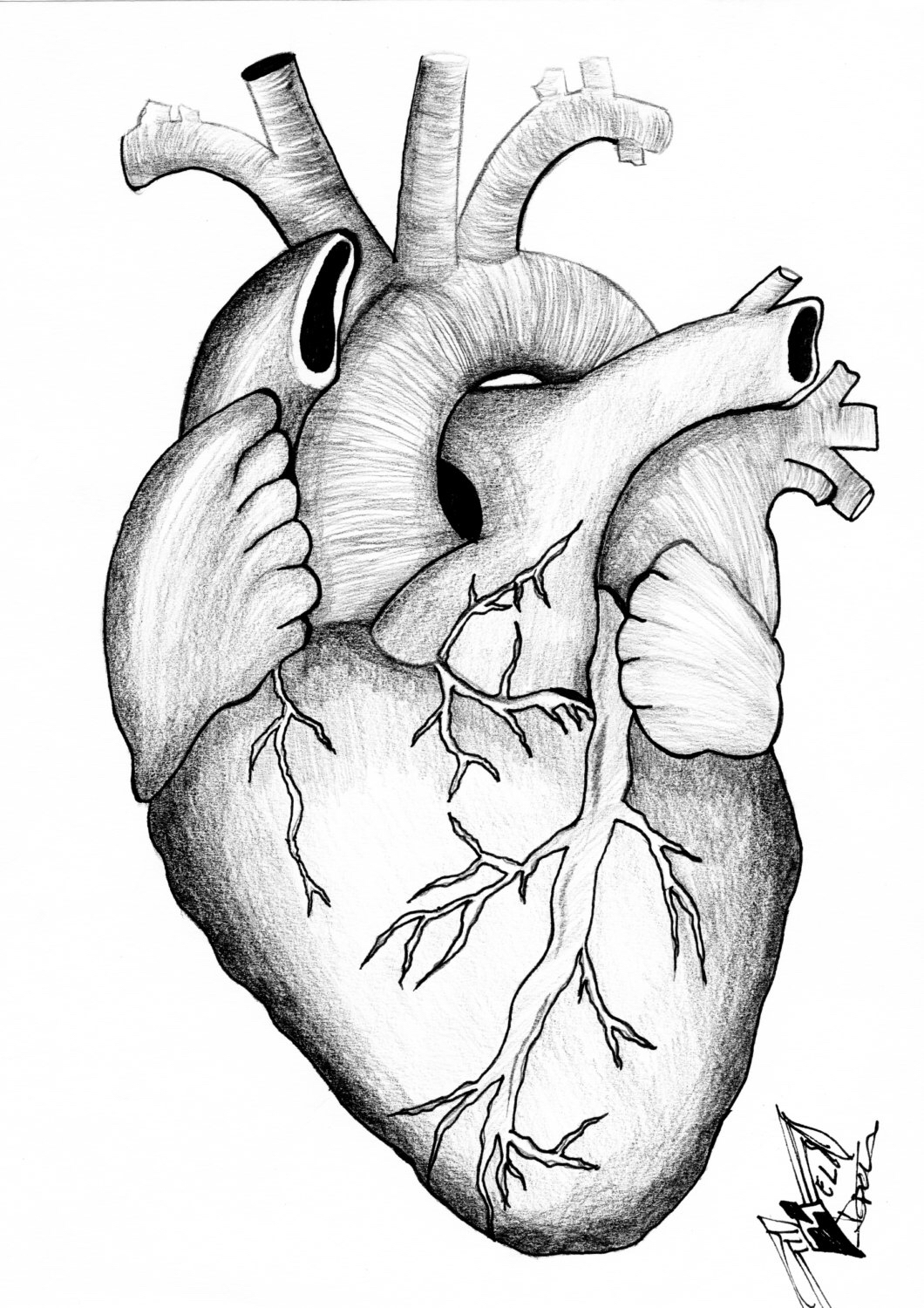 1060x1500 Anatomical Heart By Inksmd On Etsy