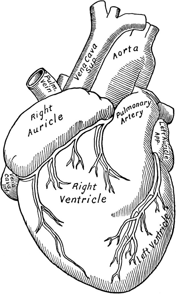 615x1024 Anatomy Clipart Anatomical Heart