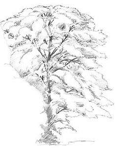 236x301 Draw The Shape Of The Contours Of The Tree How To Draw Realistic