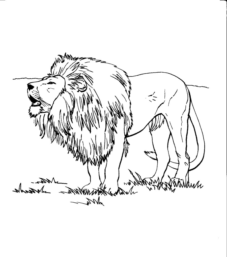 900x1020 Lion Coloring Pages Realistic