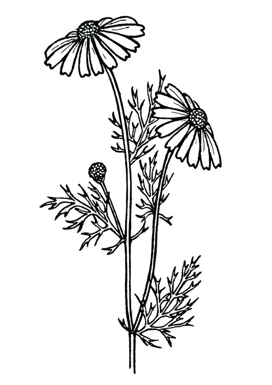 531x750 Realistic Flower Coloring Pages