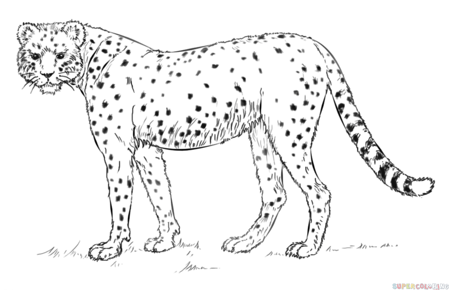 890x575 How To Draw A Realistic Cheetah Step By Step. Drawing Tutorials
