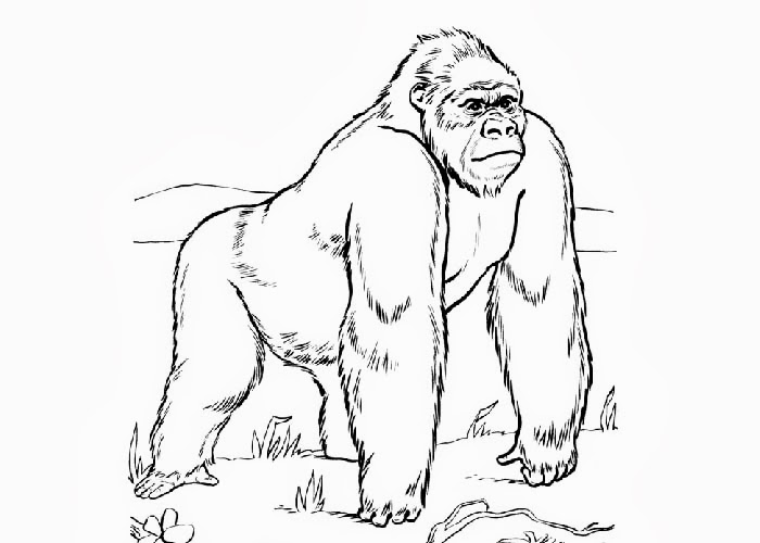 700x500 Ape Coloring Page Ape Coloring Pages To Print