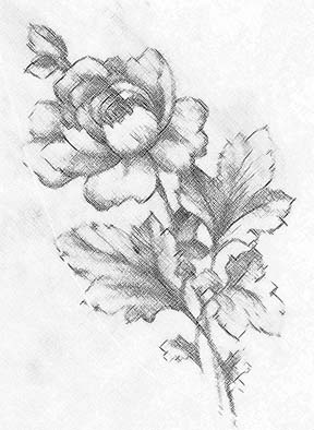 288x394 Drawn Flower Pencil Sketch