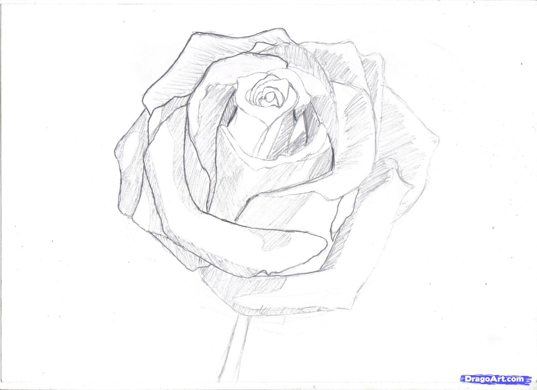1754x1275 Realistic Rose Drawing Step By Step Hoontoidly Rose Drawings