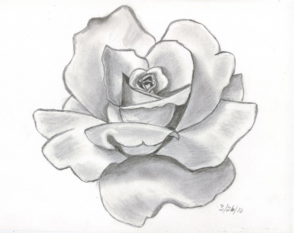 1024x811 Rose Pencil Sketch How To Draw A Rose In Pencil Draw A Realistic