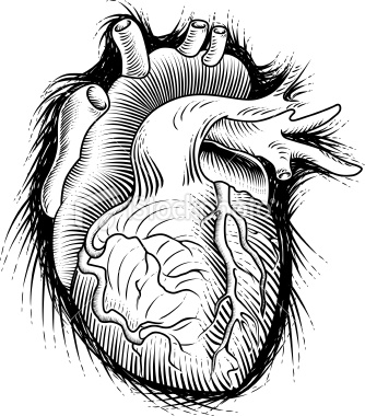 334x380 Human Heart Sketch Human Heart, Heart Sketch And Sketches