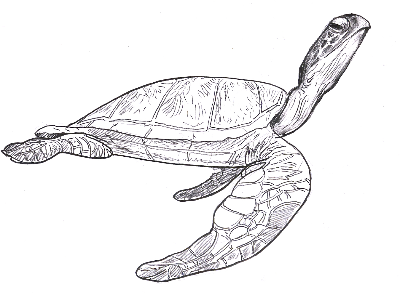 Realistic Sea Turtle Drawing at GetDrawings.com   Free for personal ...