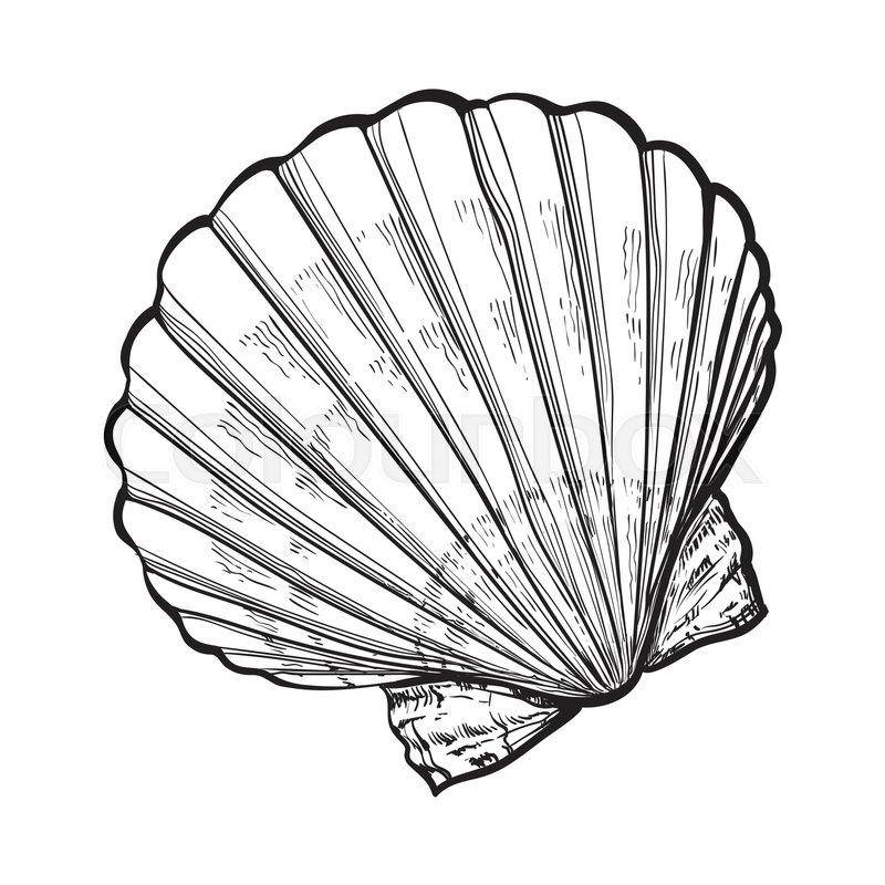 800x800 Scallop Sea Shell, Sketch Style Vector Illustration Isolated