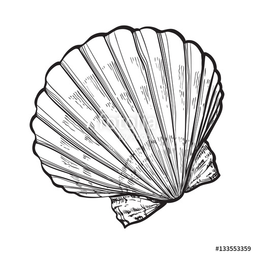500x500 Scallop Sea Shell, Sketch Style Vector Illustration Isolated