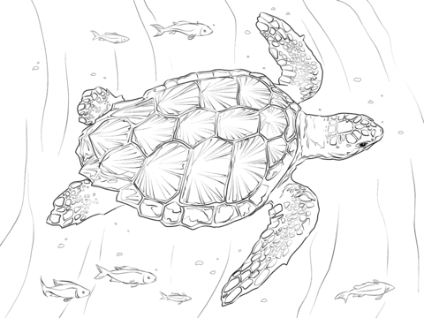 480x360 Loggerhead Turtle Coloring Page Free Printable Pages