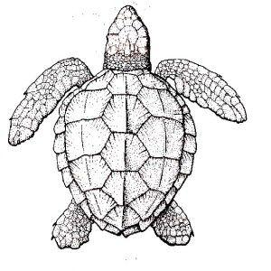 300x300 Sea Turtle, Realistic Sea Turtle Coloring Page Realistic Sea