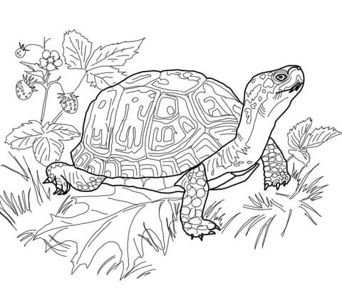 480x422 Eastern Box Turtle Coloring Page Free Printable Pages