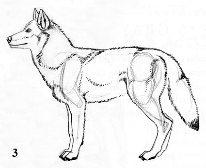 425x347 How To Draw A Wolf Step By Step With Pencil