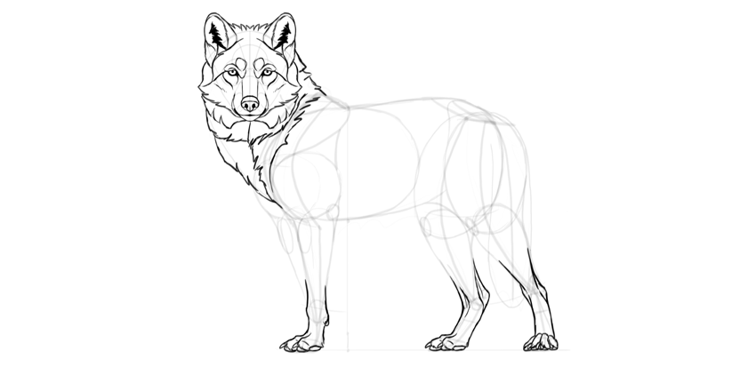 850x413 How To Draw A Wolf Step By Step