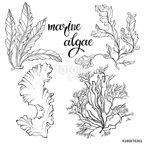 500x500 Red Marine Algae. Vector Illustration On White Background. Two